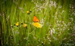 Motyl Czerwończyk nieparek