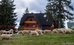 Stado owiec na Hali Rysianka